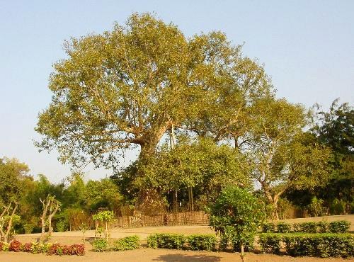 Cây Bồ Đề Ananda