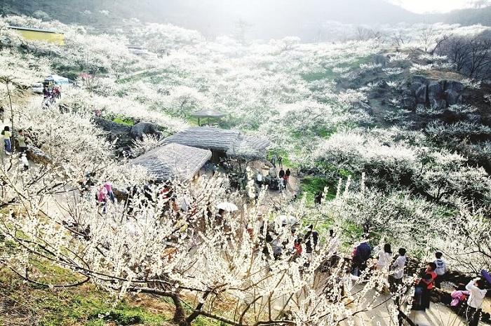 Thung lũng mận Nà Ka lúc đâm hoa