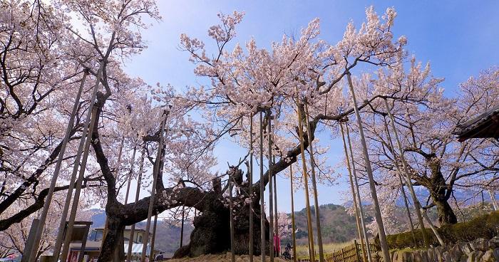 Jindai Zakura – cây anh đào vĩ đại nhất Nhật Bản
