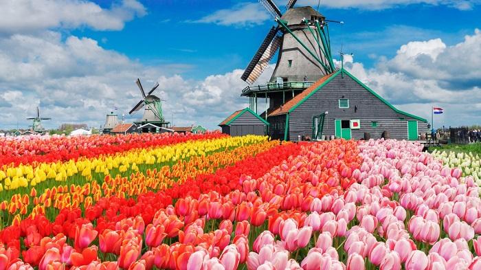Cả cánh đồng hoa Tulip bạt ngàn