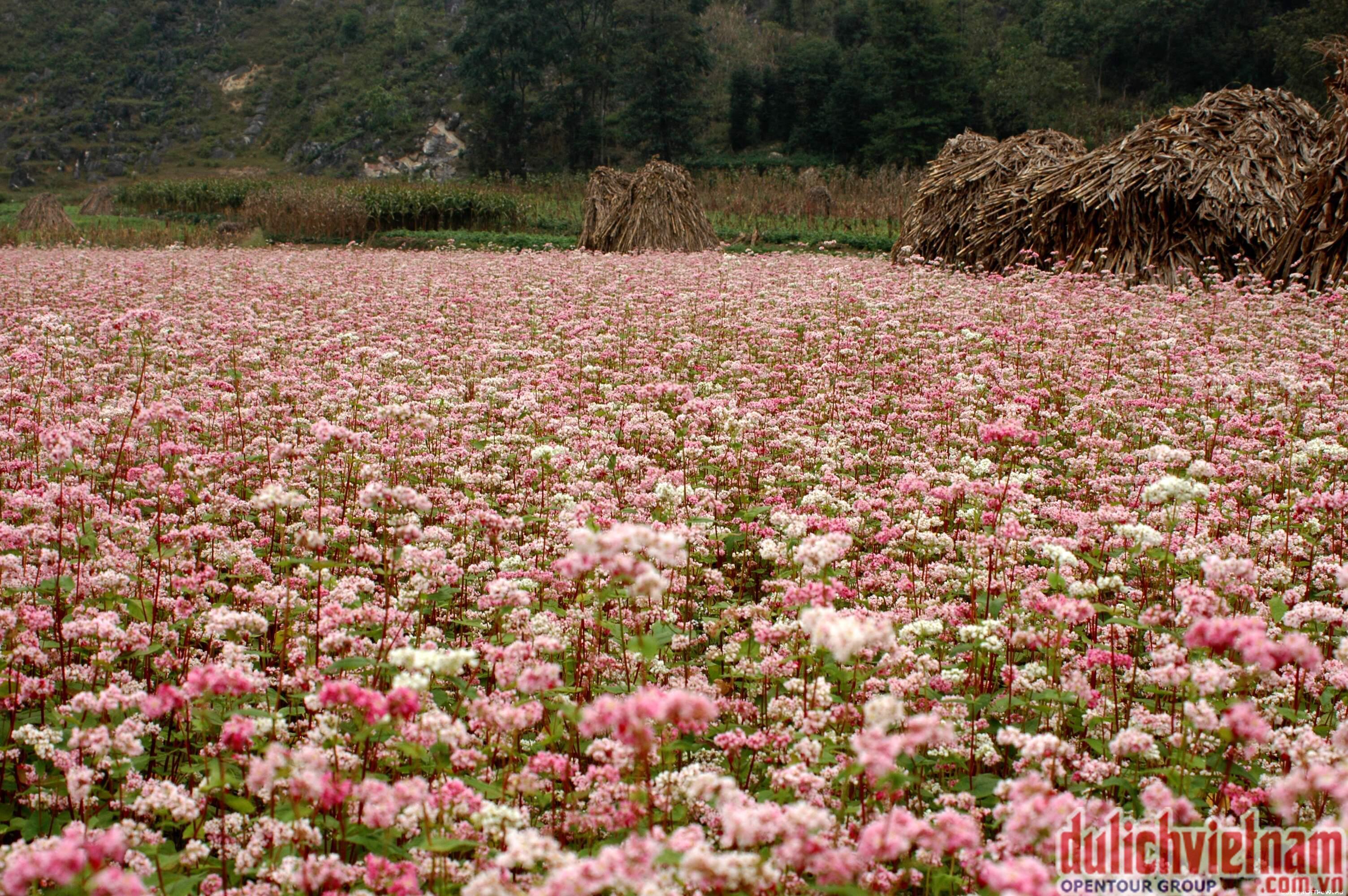 Mộc châu mùa hoa tam giác mạch