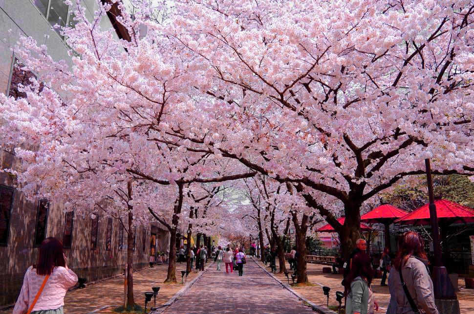 Công viên Ueno mùa hoa anh đào
