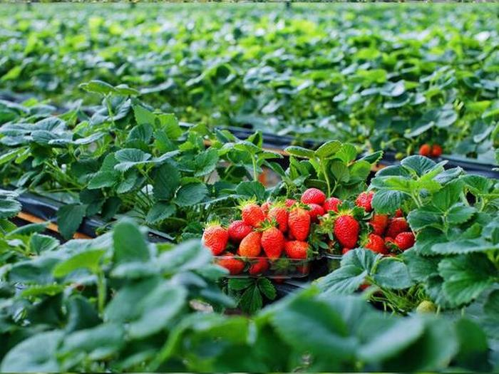 Vườn-dâu-tây