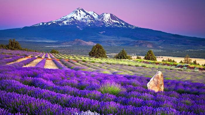 Mùa hoa Lavender tại công viên Oishi