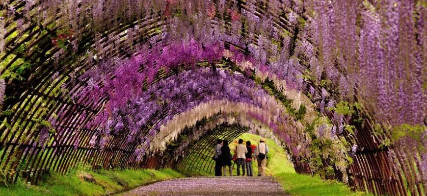 Mùa lễ hội Hoa Tử Đằng tại Nhật Bản