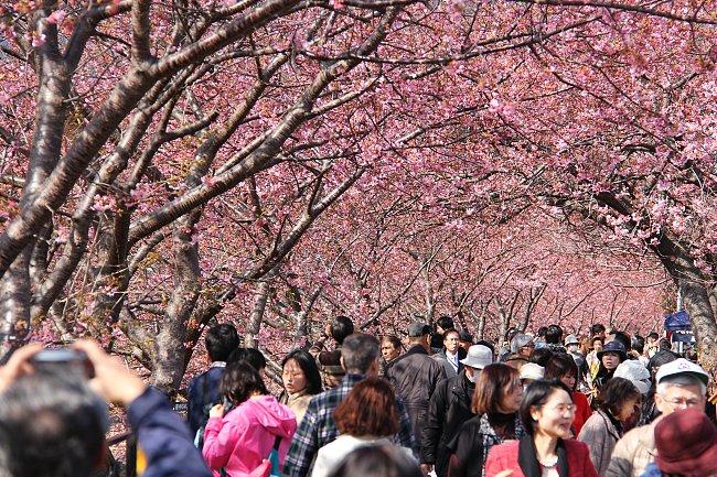 Mùa hoa anh đào Nhật Bản rực sắc