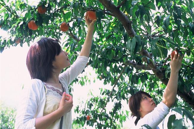 Tự tay hái và thưởng thức những trái đào thơm ngon