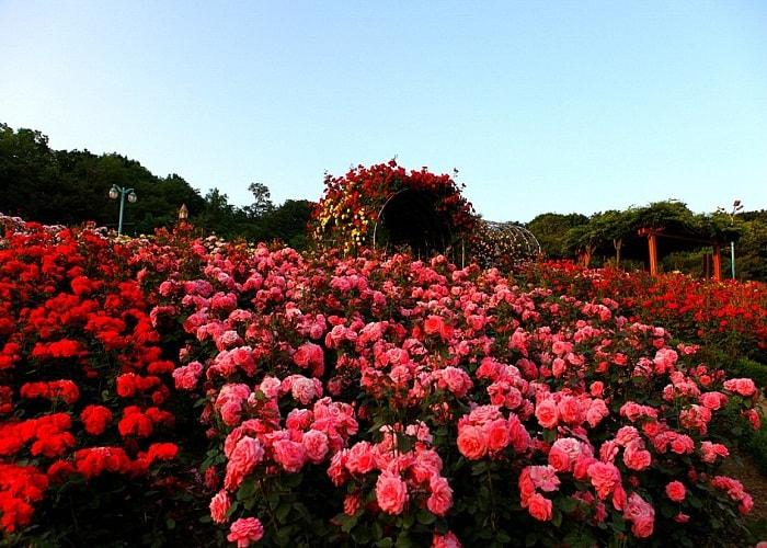 Image result for Thung lũng hoa hồng sapa