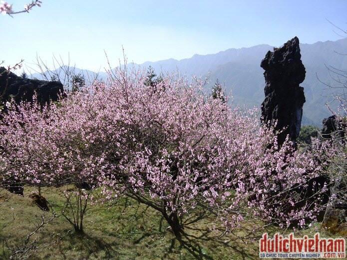 Ngắm hoa đào ở Sapa